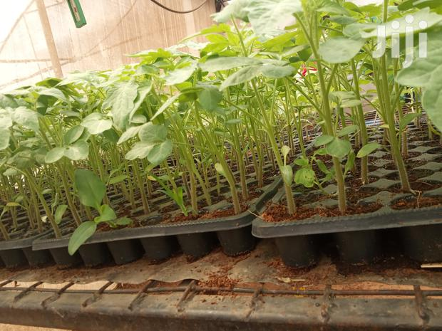 Archive: Cal J Tomato Seedlings