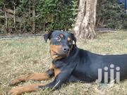 Senior Female Purebred Rottweiler | Dogs & Puppies for sale in Kajiado, Ngong