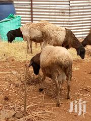 Doper Sheep | Other Animals for sale in Machakos, Kithimani