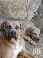 Young Male Purebred Boerboel | Dogs & Puppies for sale in Nairobi, Karen