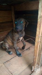 Young Female Purebred Boerboel | Dogs & Puppies for sale in Nairobi, Karura