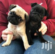 Baby Female Purebred Pug | Dogs & Puppies for sale in Mombasa, Timbwani