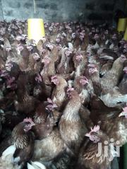 Kechick Layer Pullets | Livestock & Poultry for sale in Nairobi, Nairobi Central