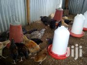 F1 Kuroiler Chickens 3 Months Old & 4 Months Old | Livestock & Poultry for sale in Machakos, Athi River