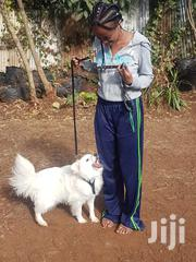 Young Male Purebred Japanese Spitz | Dogs & Puppies for sale in Nairobi, Uthiru/Ruthimitu