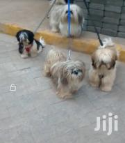 Young Male Purebred Shih Tzu | Dogs & Puppies for sale in Nairobi, Nairobi Central