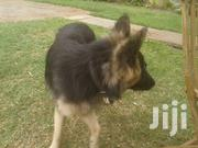 Young Male Purebred German Shepherd Dog | Dogs & Puppies for sale in Kiambu, Muchatha