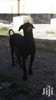 Adult Female Purebred Mongrel (No Breed)   Dogs & Puppies for sale in Machakos, Athi River