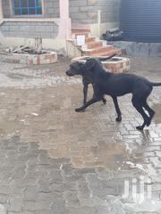 Senior Male Purebred Great Dane   Dogs & Puppies for sale in Machakos, Athi River