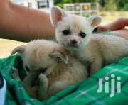 Male And Female Fennec Fox | Other Animals for sale in Elgeyo-Marakwet, Kaptarakwa