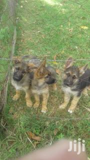 Young Male Purebred German Shepherd Dog | Dogs & Puppies for sale in Trans-Nzoia, Waitaluk