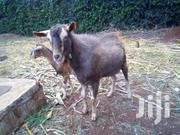 Toggenburg Mature Billy Goat | Other Animals for sale in Nairobi, Westlands