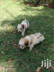 Baby Male Purebred Havanese | Dogs & Puppies for sale in Nairobi, Kitisuru