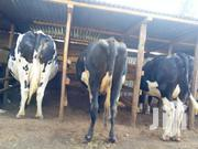 ON DRY | Livestock & Poultry for sale in Kiambu, Githunguri