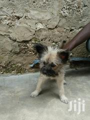 Baby Male Mixed Breed American Eskimo Dog | Dogs & Puppies for sale in Mombasa, Changamwe