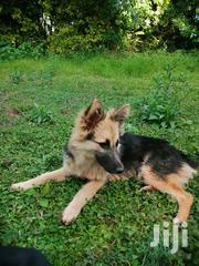 Young Female Mixed Breed German Shepherd Dog | Dogs & Puppies for sale in Nyeri, Kiganjo/Mathari