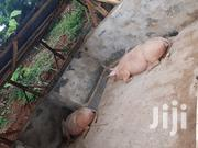 Pregnant Camborough Gilt | Livestock & Poultry for sale in Murang'a, Mugoiri