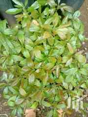 Hass Avocado Seedlings + More Seedlings @ Affordable Prices | Feeds, Supplements & Seeds for sale in Embu, Mbeti North