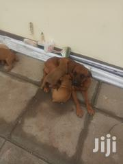 Young Female Purebred Boerboel | Dogs & Puppies for sale in Nairobi, Lower Savannah