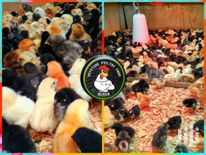 Rainbow And Kuroiler Chicks