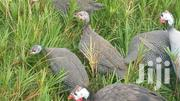 Guinea Fowl Chicks | Livestock & Poultry for sale in Nairobi, Nairobi Central