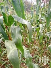 Maize (Green) With Young Cobs.   Feeds, Supplements & Seeds for sale in Nyeri, Chinga