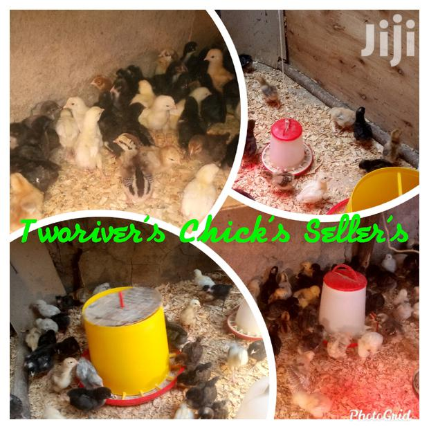 Archive: Improved Kienyeji Chicks And Poultry Products