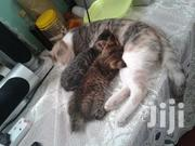 Two Kitten | Cats & Kittens for sale in Kisumu, Migosi