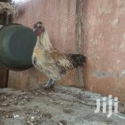 Matured Male Silky | Livestock & Poultry for sale in Mombasa, Tudor
