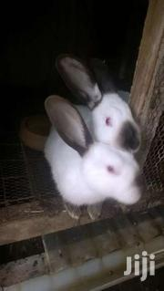 California White Rabbits | Livestock & Poultry for sale in Kajiado, Ongata Rongai