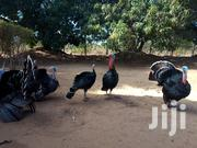Turkeys For Sale. Poults Available | Livestock & Poultry for sale in Kilifi, Tezo