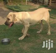 Young Female Purebred Boerboel | Dogs & Puppies for sale in Nairobi, Kahawa