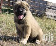 Young Female Purebred Caucasian Shepherd Dog | Dogs & Puppies for sale in Mombasa, Bamburi