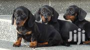 Baby Female Purebred Dachshund | Dogs & Puppies for sale in Kwale, Ukunda