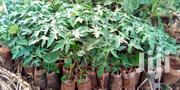 Pawpaw Seedlings | Feeds, Supplements & Seeds for sale in Nairobi, Mwiki