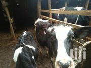 Heifers Of Various Sizes On Sale | Other Animals for sale in Tharaka-Nithi, Magumoni