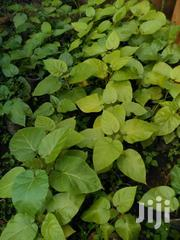 Tomarrillo Seedlings Ready To Tranfer To The Farm | Meals & Drinks for sale in Kiambu, Ruiru