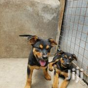 Baby Male Mixed Breed Rottweiler | Dogs & Puppies for sale in Nairobi, Imara Daima