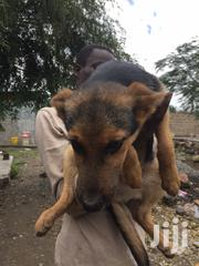 Young Male Mixed Breed German Shepherd Dog | Dogs & Puppies for sale in Kajiado, Kitengela