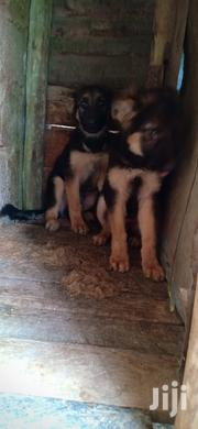 Young Male Purebred German Shepherd Dog | Dogs & Puppies for sale in Kiambu, Hospital (Thika)