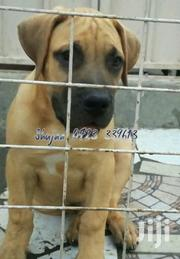 Young Male Purebred Boerboel | Dogs & Puppies for sale in Machakos, Athi River