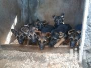 Baby Female Purebred German Shepherd Dog | Dogs & Puppies for sale in Nakuru, Dundori