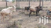 Dairy Hegoats For Sale | Livestock & Poultry for sale in Nyeri, Gatarakwa