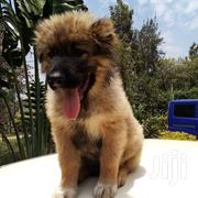 Baby Male Purebred Caucasian Shepherd Dog | Dogs & Puppies for sale in Kiambu, Kiuu