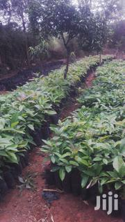 Indigenous Avacado Seedlings | Feeds, Supplements & Seeds for sale in Nairobi, Nairobi Central