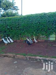 Indian Runners Duck | Livestock & Poultry for sale in Kiambu, Kabete