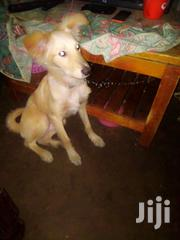 Young Male Mixed Breed Chihuahua | Dogs & Puppies for sale in Nairobi, Zimmerman