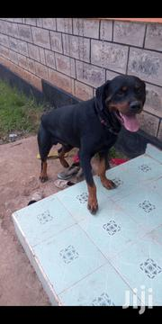 Young Male Purebred Rottweiler | Dogs & Puppies for sale in Kajiado, Ongata Rongai
