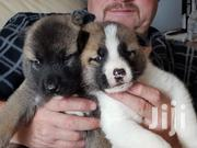 Young Female Purebred Akita | Dogs & Puppies for sale in Nairobi, Nairobi Central