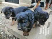 Baby Male Mixed Breed Rottweiler | Dogs & Puppies for sale in Nairobi, Embakasi